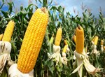 The National Corn Production Development Planning up to 2025 with orientation to 2030