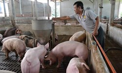 """Người chăn nuôi lợn giảm thua lỗ hàng nghìn tỉ đồng sau 3 tháng được """"giải cứu"""""""