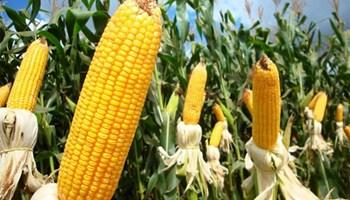 Quy hoạch phát triển sản xuất ngô toàn quốc đến năm 2025, định hướng đến năm 2030