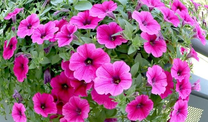 Hướng đi cho nông nghiệp đô thị: Mô hình trồng hoa kiểng trong chậu