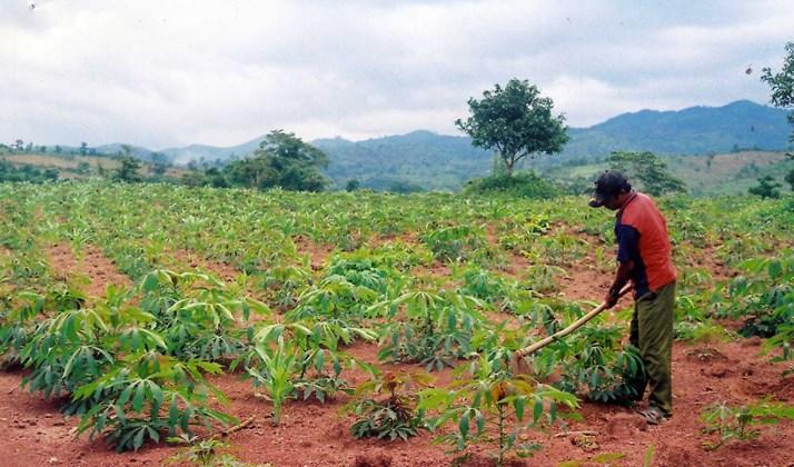 Các tỉnh Tây Nguyên cần ngăn chặn tình trạng phát triển cây sắn ồ ạt