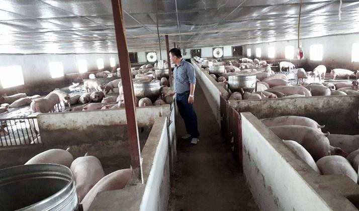 Cục Chăn nuôi: Người chăn nuôi không nên quá kỳ vọng vào giá lợn sẽ lên cao nữa